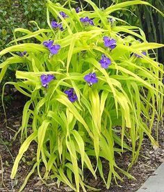 """Blue and Gold spiderwort tradescantia """"sweet kate"""" 12 inch tall"""