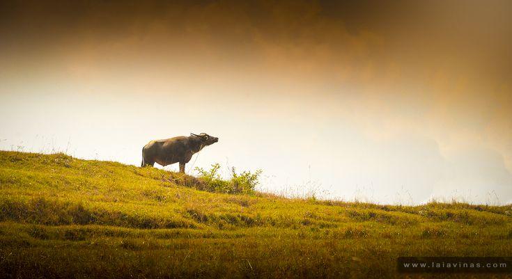 Muchos países de Asia dependen del búfalo de agua como principal especie bovina.Es valioso por su carne, leche y el trabajo que realiza en la agricultura.   Molts països asiàtics depenen del búfal d'aigua com a principal espècie bovina. És preuat per la seva carn, la seva llet i la feina que desenvolupa en l'agricultura.   Many Asian countries depend on the water buffalo as its primary bovine species. It is valuable for its meat and milk as well as the labour it performs in agriculture.