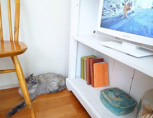岩合さんの#世界ネコ歩き を観賞する元野良猫。 . #猫 #愛猫 #猫のいる暮らし #サビ猫 #サビ猫ラバーズ #サビ猫の輪  #スコ #にゃんすたぐらむ #保護猫 #スコ部 #cats #catstagram #scottishfold #catlover #岩合光昭