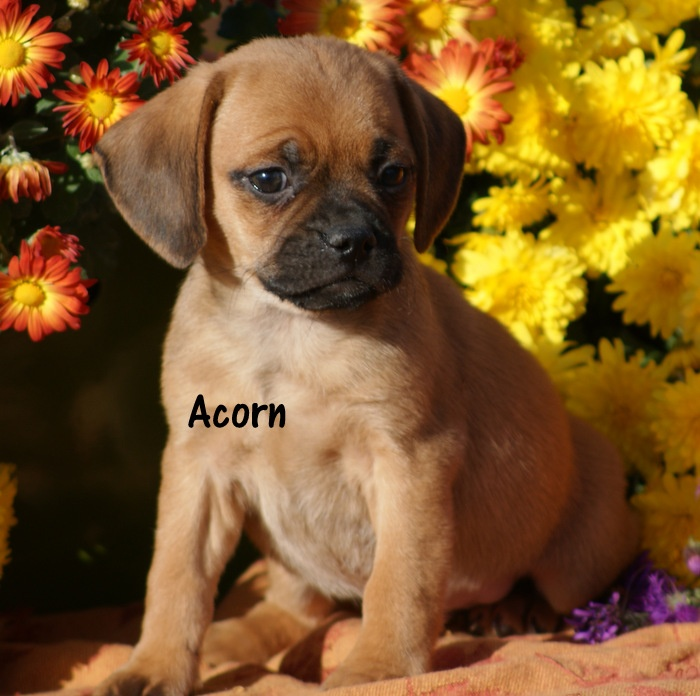 Acorn, a silly male puggle puppy
