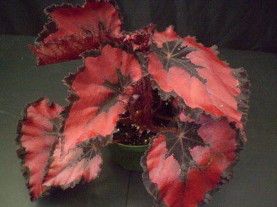 Begonia Rex Red Robbin, #houseplant with red leaves and black centers and edges. HousePlant411.com