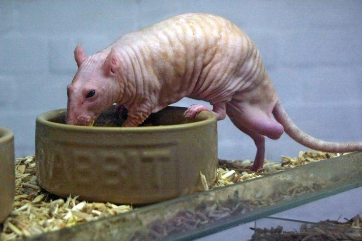 16 mejores imágenes de rat/mice anatomy en Pinterest | Anatomía ...