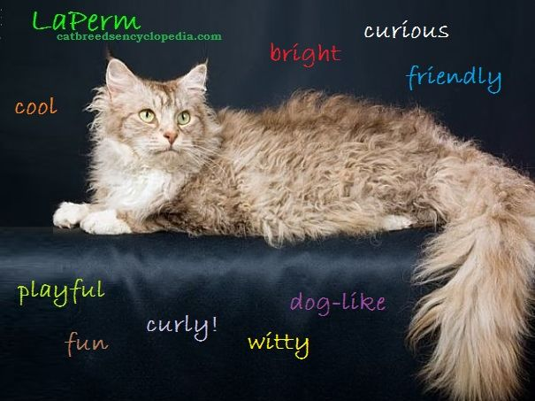 The LaPerm cat personality is as special as it's coat of curls..