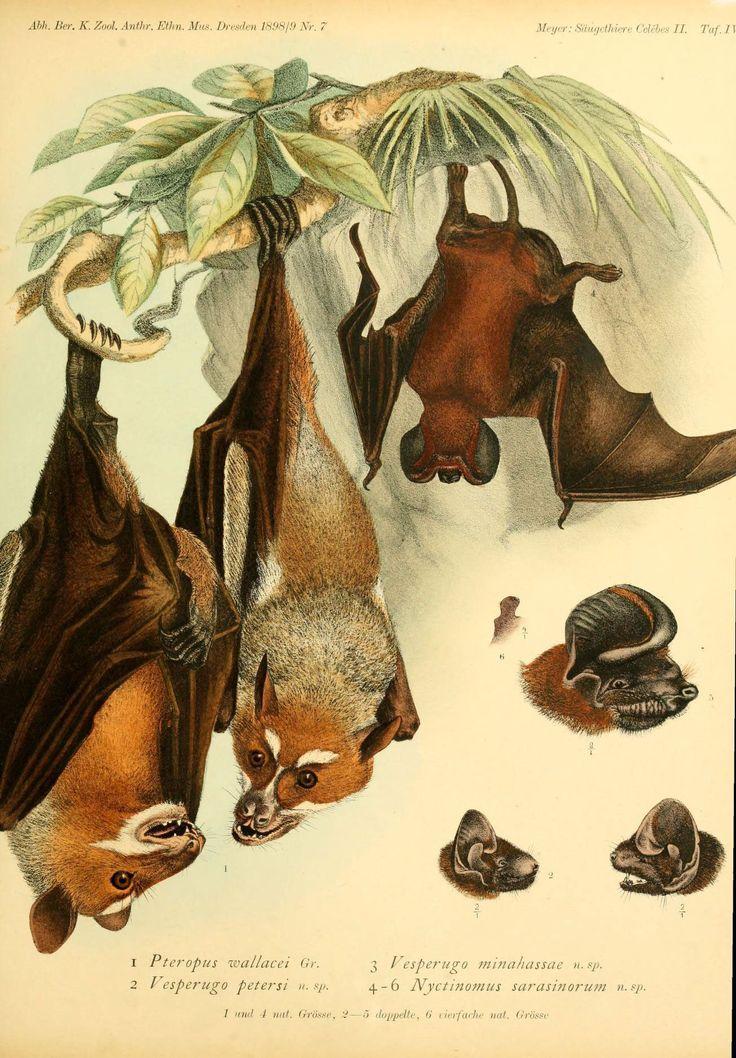 Bats illustrated beautifully like birds in Audubon! @bat conservation international