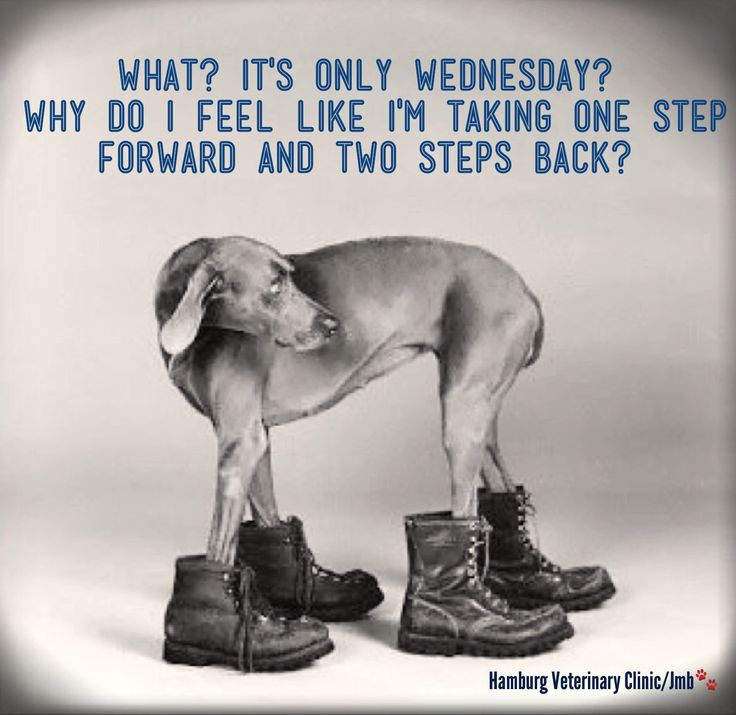 Wednesday humor - It's only Wednesday you say! Having one of those ... Weimaraner For Sale