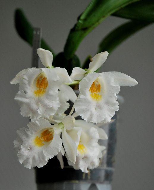 Trichopilia hennesiana x suavis - Flickr - Photo Sharing!