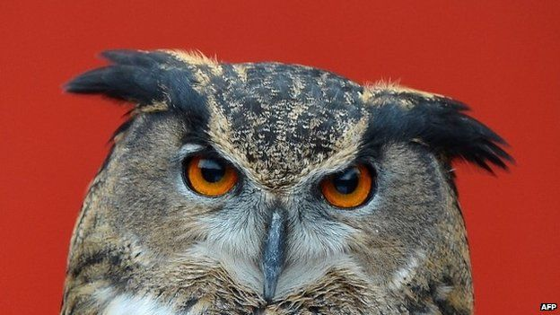 A European Eagle owl during the annual stocktake at ZSL London Zoo in central London.