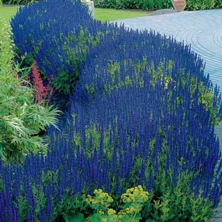 Blue Hill Salvia   LOVE! This Long Awaited Color Breakthrough In Garden  Salvia Was Selected For Both Its Legendary Sky Blue Blooms Anu2026