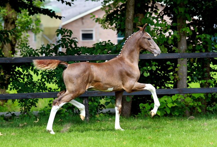 Dutch Harness Horse colt - look at that natural action!!