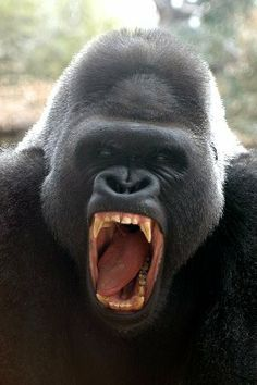angry silverback gorilla images - Google Search
