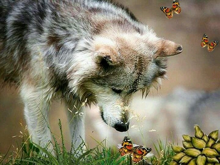Wolf and butterflies