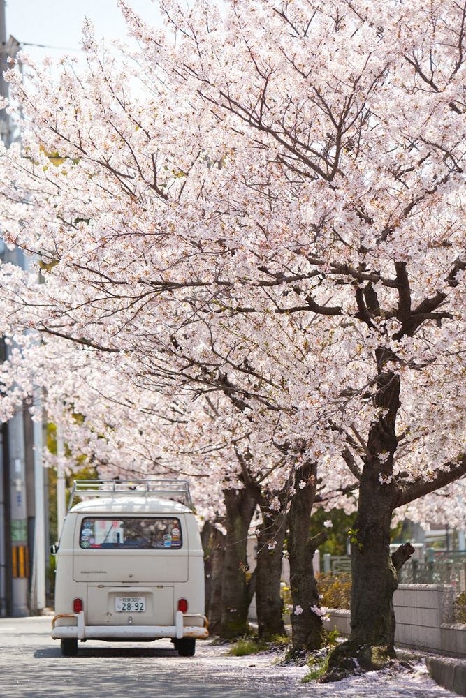 bus and sakura trees