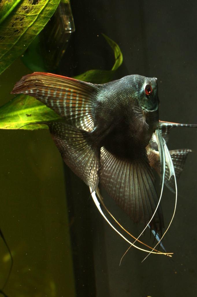 138 bästa bilderna om Diskus fiskar - Scalarer - Angelfich ...