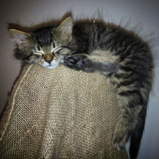 #Mainecoon cat