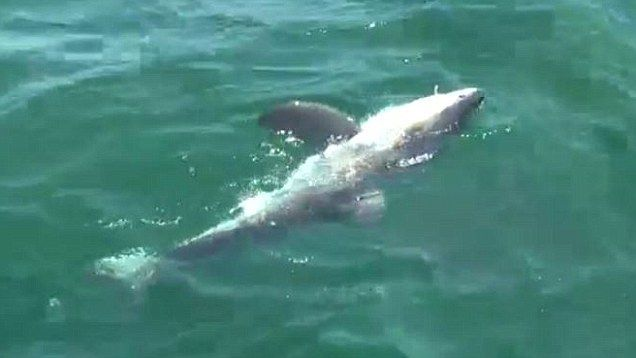 Fishermen catch baby great white shark just a mile from New York's Rockaway Beach | Mail Online