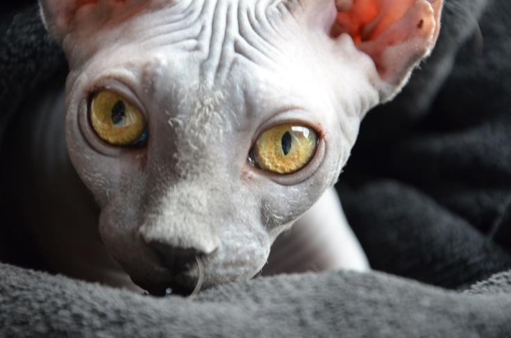 Sphynx Cat For Sale Charlotte
