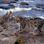 Facts About Baby Snow Leopard / Snow Leopard Cubs