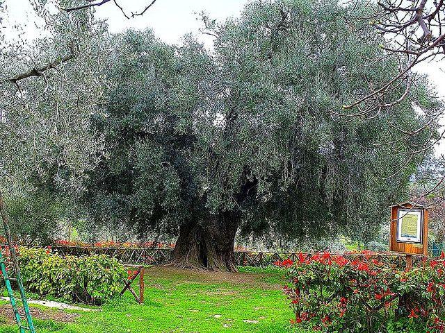 Fara in Sabina nel RI L'ulivo più grande d'Europa è nelle nostre terre !