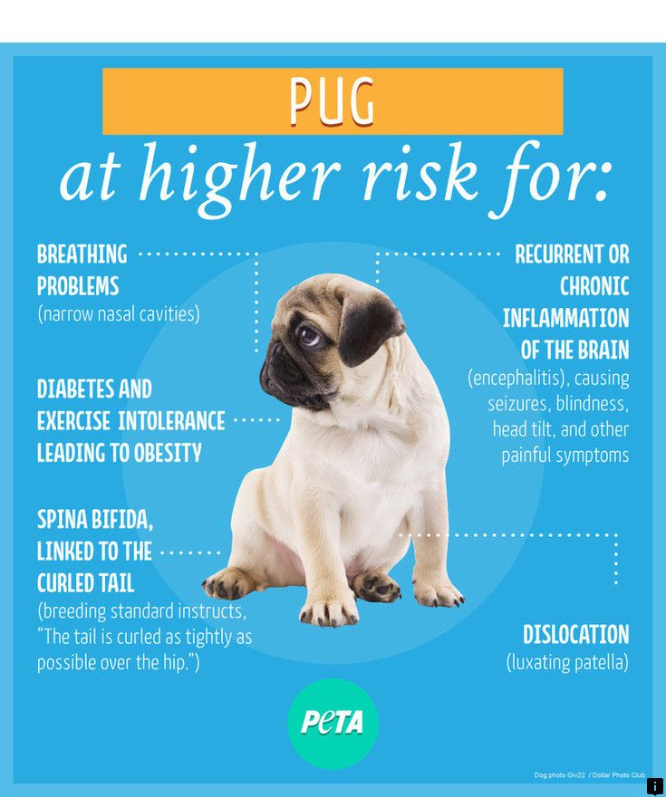 Follow The Link For More Info Pug Price Follow The Link To Learn
