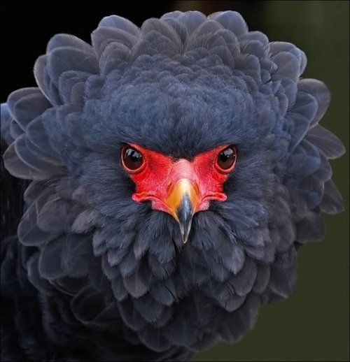 A beautiful black and red contrast in the face of a Bateleur (Terathopius…