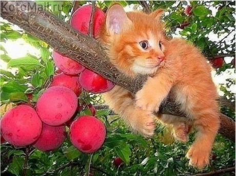 Персик на сливе)