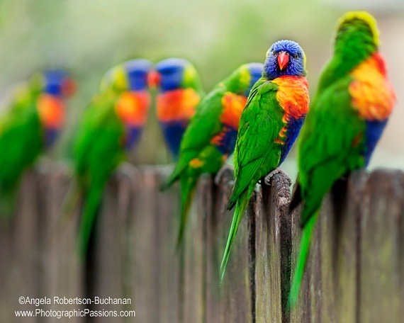 8x10 inch Rainbow Lorikeets fine art bird by photographicpassions, $25.00