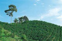 Cultivo de café caturra, especie que no necesita sombrío.