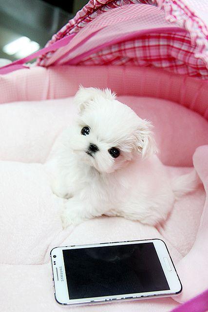 Best 25 Teacup Maltese Puppies Ideas On Pinterest