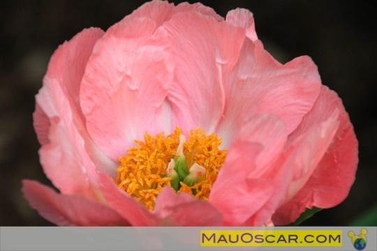 O #Jardim de #Peônias do #Winterthur   #Peony #Garden #Delaware #Landscape #Flowers