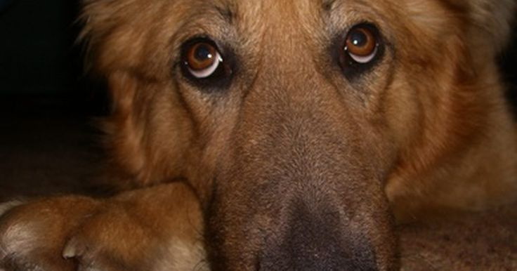 Por que cães se arrastam no chão?. Frequentemente, um cão coloca o seu traseiro no chão e começa a se puxar com as patas da frente. Cães realizam esse comportamento dentro e fora de casa. Isso pode deixar sujeira e manchas no seu tapete caso o animal esteja sujo de fezes. Além da sujeira no seu tapete, essa condição também pode refletir um problema nas glândulas anais do animal, ...