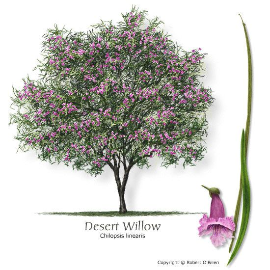 Desert Willow. I think this is the winner. Native to our area, drought-resistant, and absolutely beautiful!