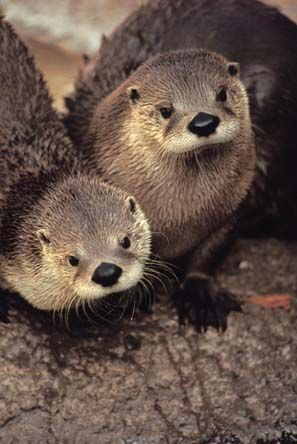 Lutra canadensis (river otter)
