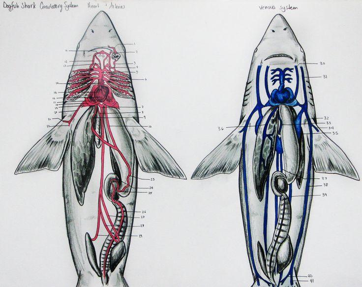 Dogfish Shark Circulatory by JacquelineRae                                                                                                                                                      More