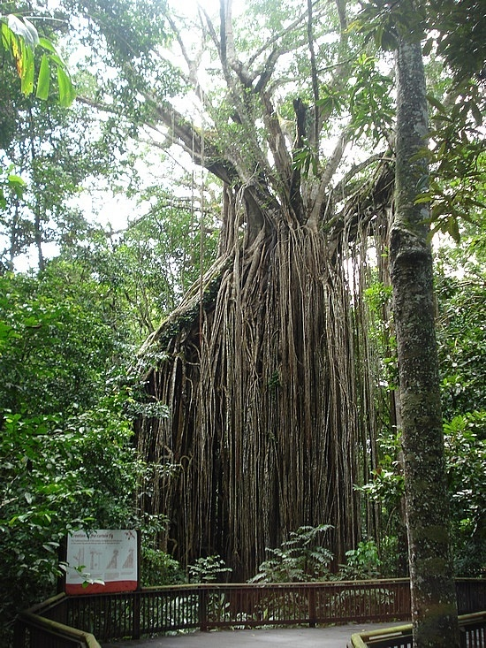 Curtain Fig tree on the Atherton Tablelands is just a short drive from Malurus Luxury Retreat