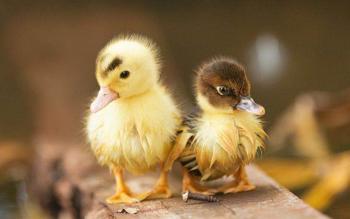 Download wallpapers little ducks, birds, ducklings, cute animals