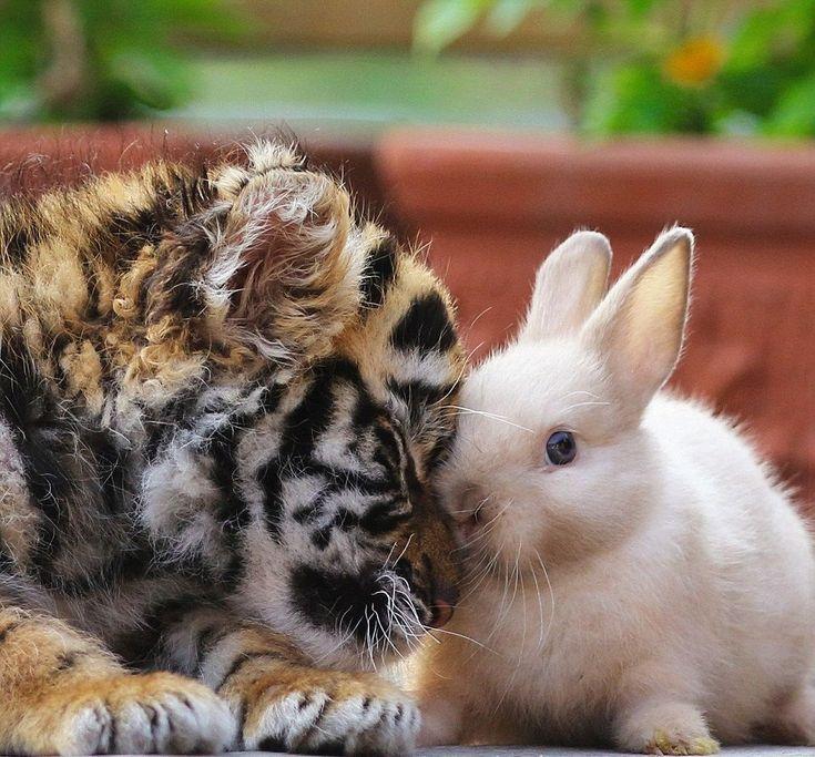De belles images d'amitié 999c991d69529e2a80f4deea633d9aff--the-tiger-tiger-and-bunny