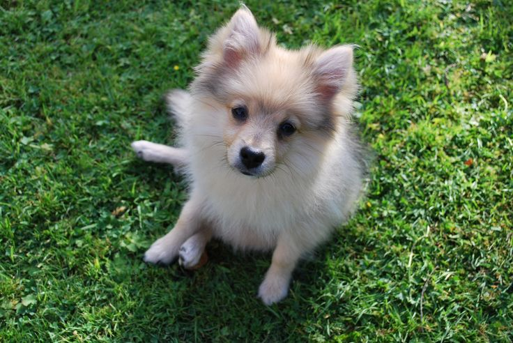 Willow, 6months old. Pomeranian puppy...