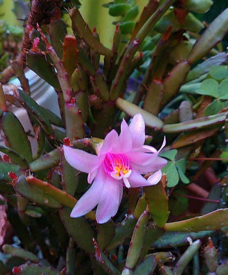 Cactus florido.