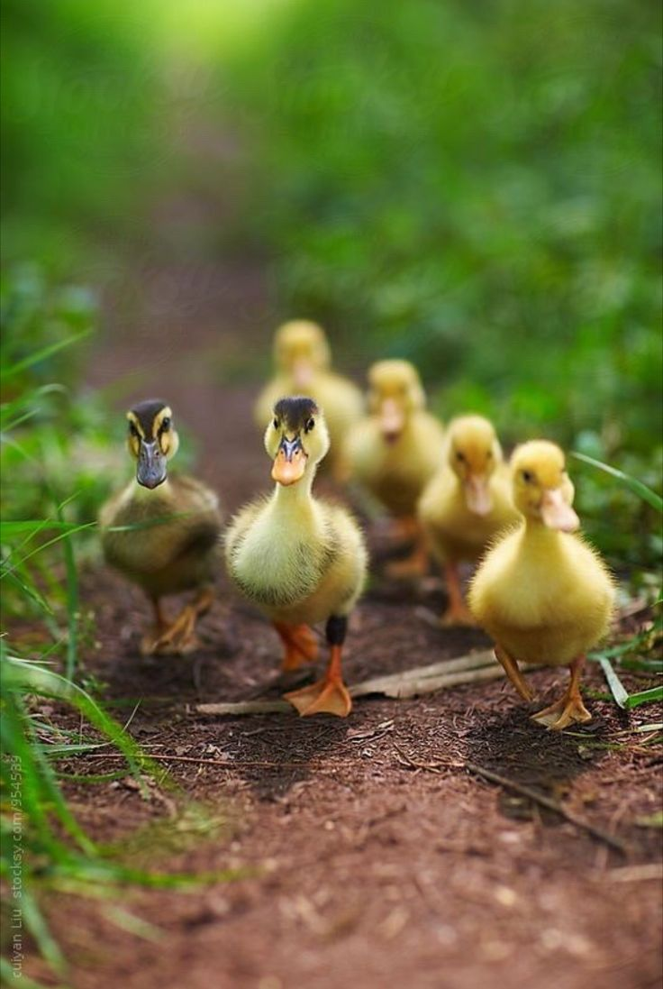 best ducks swans and geese images on pinterest baby ducks