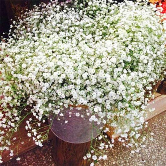 Common Name Babys Breath Type Herbaceous Perennial Family Caryophyllaceae Zone 3 To 9 Height 2 00 To 3 00 Feet S Perennial Plants Gypsophila Flower Plants