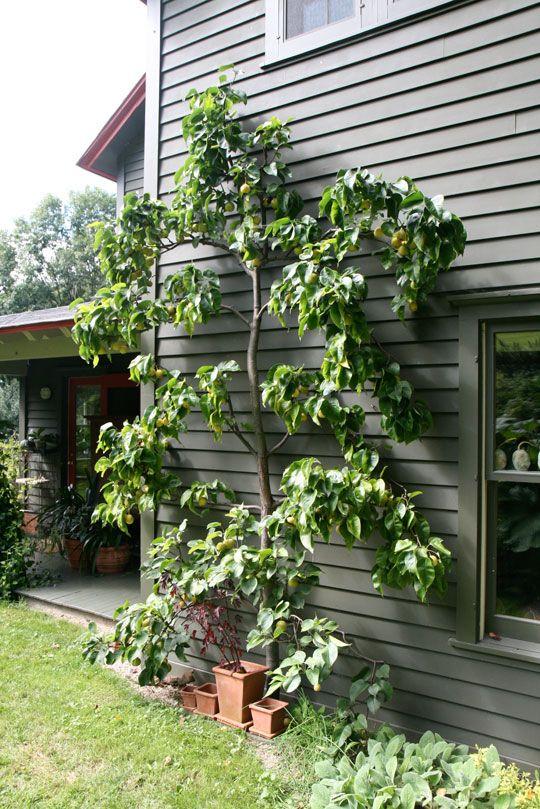 Espalier Fruit Tree In Margaret Roachu0027s Garden.
