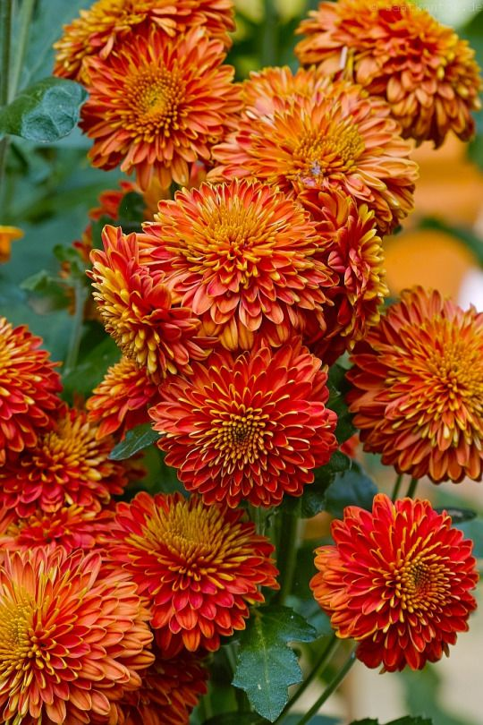Herbst-Chrysantheme / Costmary, Chinese Aster, Chrysanthemum, Mum, Garden Mum (Chrysanthemum indicum)