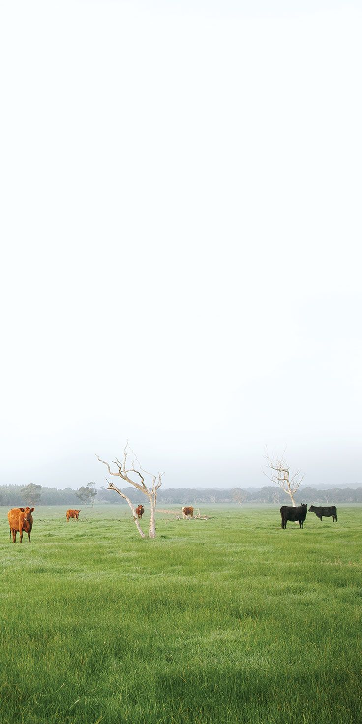 Lush meadows and gazing cows in the Adelaide Hills - by @emilieristevski