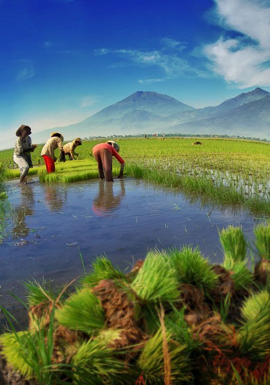 Indonesian Rice Field by nooreva.deviantart.com on @deviantART