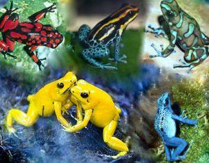 Fauna de la selva peruana - Las ranas punta de flecha