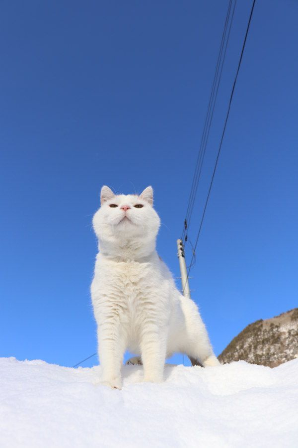 Snowcloud Totally White Tom With Blue Eyes Isn T Blind Handsome And Intelligent No Mate Or Kits Crush None Cute Cats And Dogs Popular Cat Breeds Cat Breeds