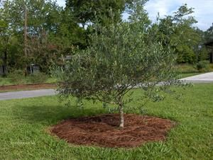 Olive Tree Growers - The Care and Feeding of Olive Trees