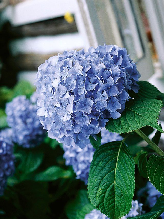 The Best Tips For What To Prune And When Types Of Hydrangeas Pruning Hydrangeas Pruning Fruit Trees