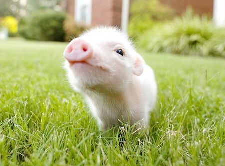 Own A Miniature Piggie