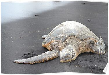 Turtle on Black Sand - Punalu'u Beach Hawaii #beachgifts #beach #gifts #gift Ideas